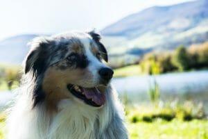 Hunde-op-versicherung australian shepard, Hundeversicherung