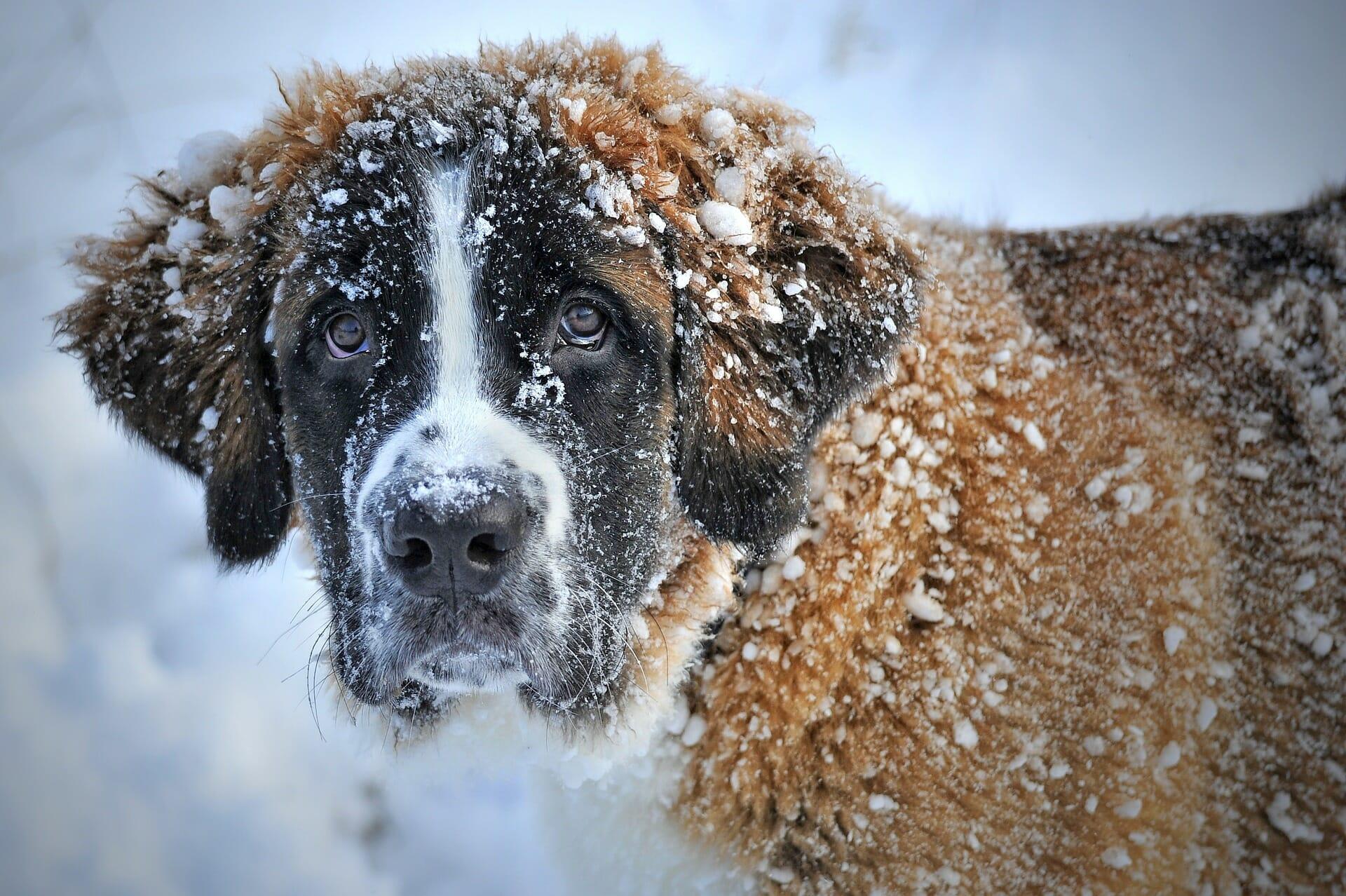 Bernhardiner_hundeversicherung_balunos