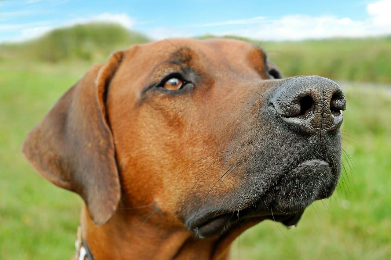 Hundeunfallversicherung, Ridgeback, Rhodasian Ridgback Hundeversicherung