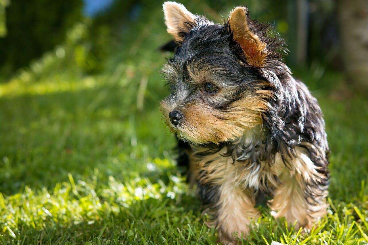 hundeversicherung_yorkshire