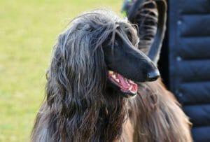 afghanischer_windhund_balunos_hundeversicherung