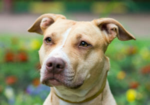 American Pit Bull Terrier Balunos Hundeversicherung
