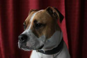 american_staffordhire_balunos_doginsurance
