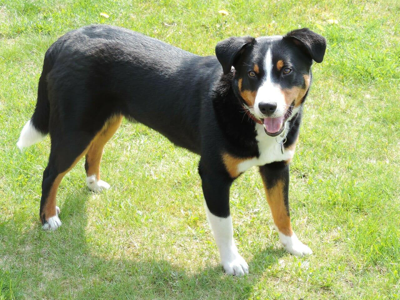 appenzell-sennenhund_balunos_hundeversicherung