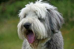 bearded_collie_balunos_hundeversicherung