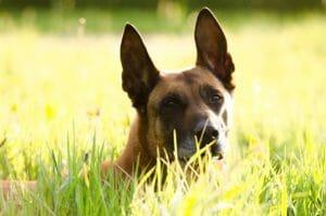 belgischer_schäferhund_malinois_balunos_versicherung