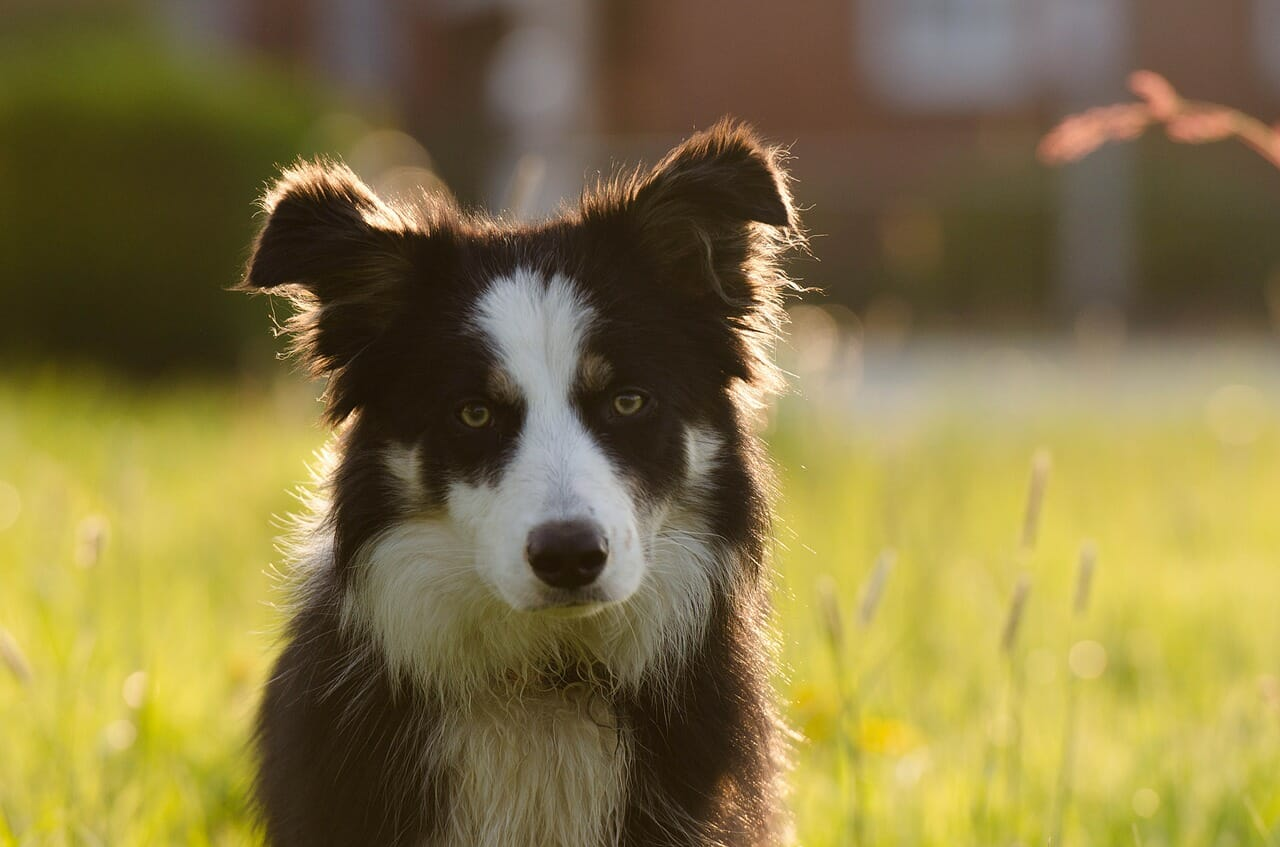 Hundeunfallversicherung_hundekrankenversicherung_bordercollie
