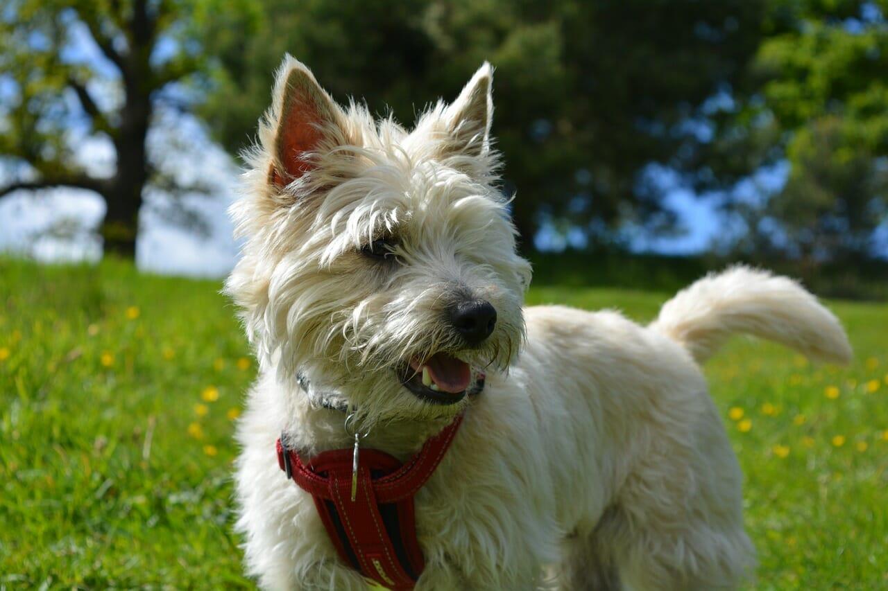 cairn-terrier-balunos_hundeversicherung