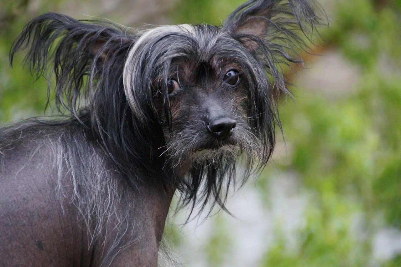 chinesischer_schopfhund_hundeversicherung_haftpflicht_balunos