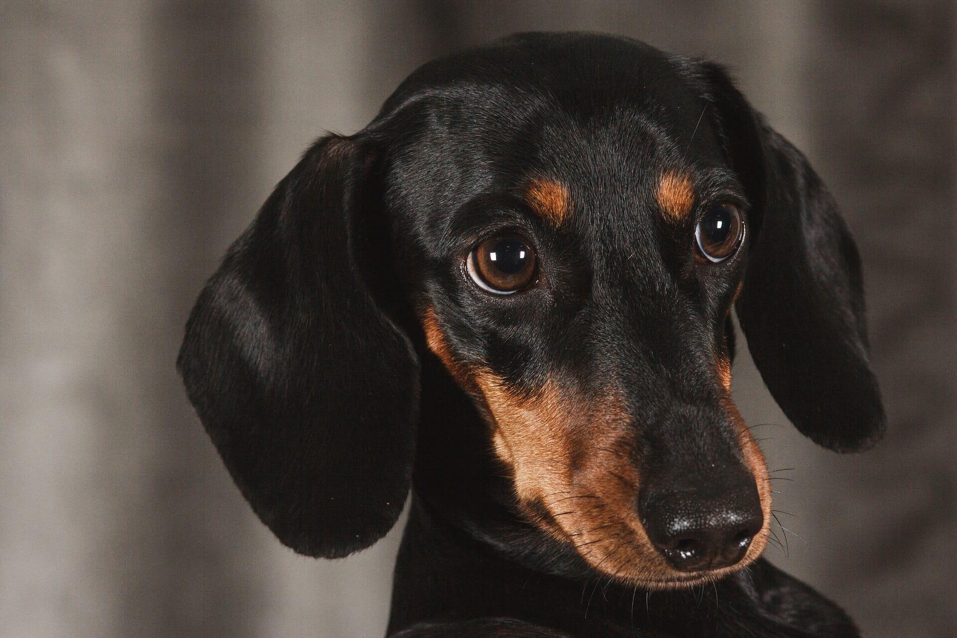 dackel_dachshund_balunos_hunde op kosten