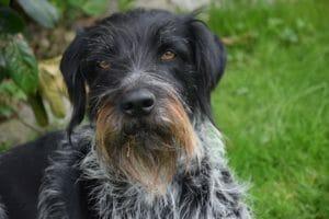 deutscher_drahthaar_balunos_hundeversicherung
