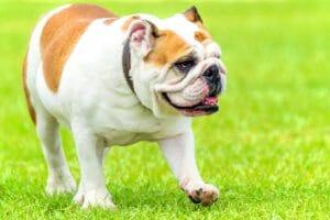 englische-bulldog-balunos_hundehalter_haftpflicht