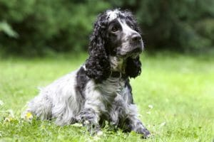 english_cocker-spaniel_balunos_versicherung
