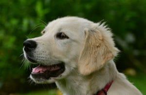 retriever_hundeunfallversicherung