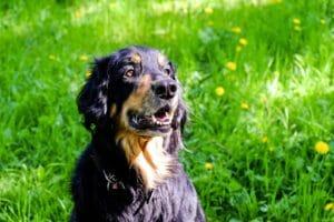 hovawart_balunos_hundeversicherung