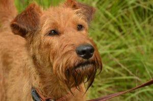 irish_terrier_balunos_hundehaftpflichtversicherung