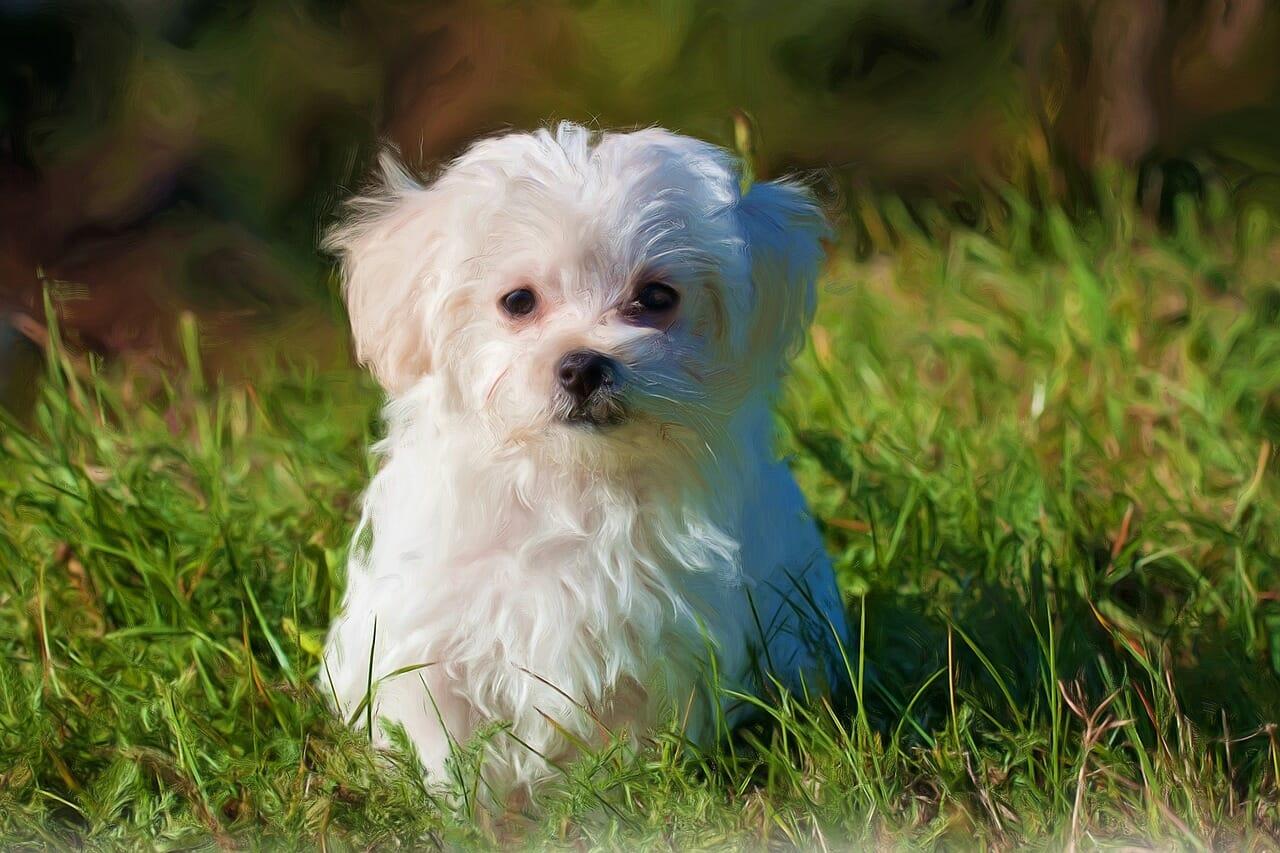 malteser_hundeversicherung_balunos_doginsurance