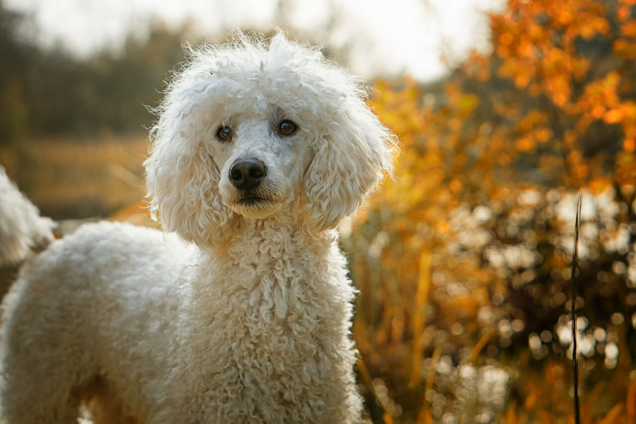 hundeversicherung_unfall_pudel_opkosten