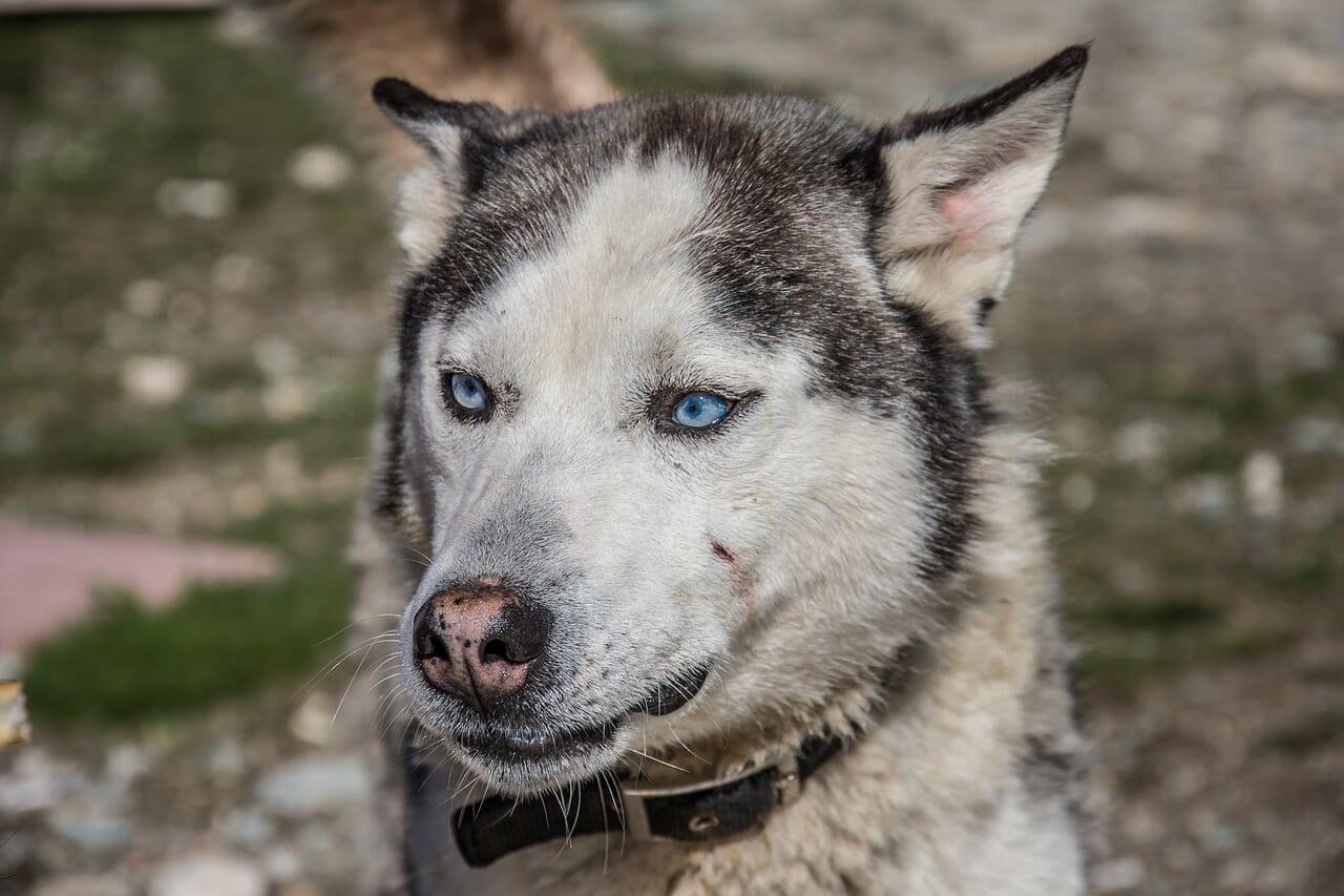 siberian_huskey_hundeversicherung_balunos