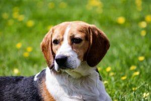 beagle merkmale, hundeversicherung, balunos