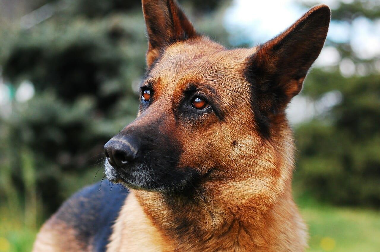 deutscher schäferhund, balunos hundeversicherung