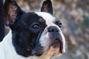 hundeversicherung,französische bulldogge hundekrankenversicherung, hundeunfallversicherung