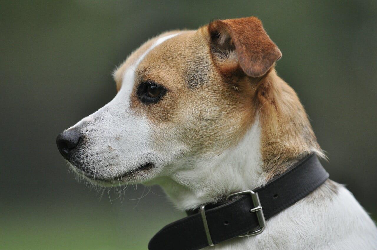 jack russell terrier. balunos hundeversicherung, hundeunfallversicherung